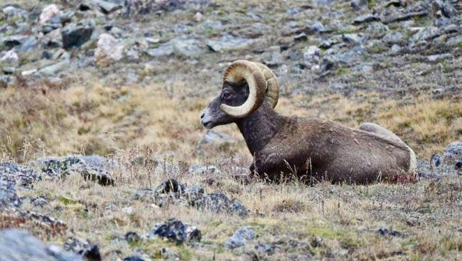 bighorn sheep best place see rocky mountain