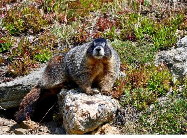 marmots rocky mountain national park best place see