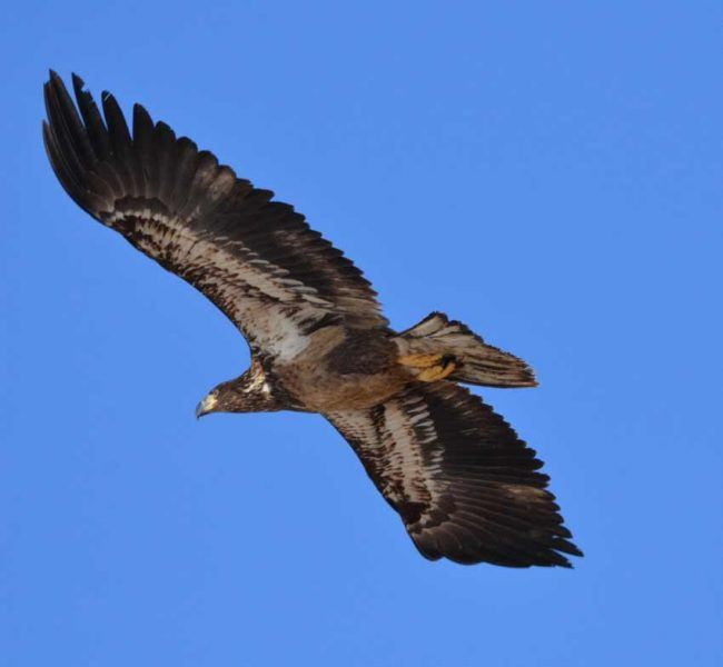Ferruginous Hawk, Dark Morph Version, Zion National Park, UT