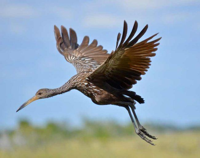 Limpkin, Big Cypress National Preserve, FL