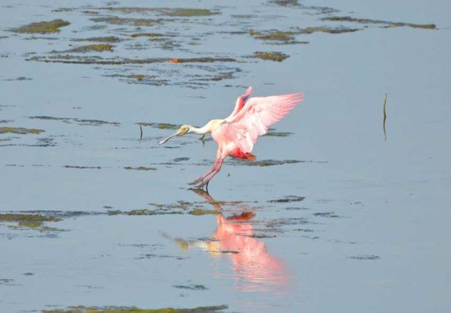 Roseate Spoonbill, Ding Darling National Wildlife Refuge, FL