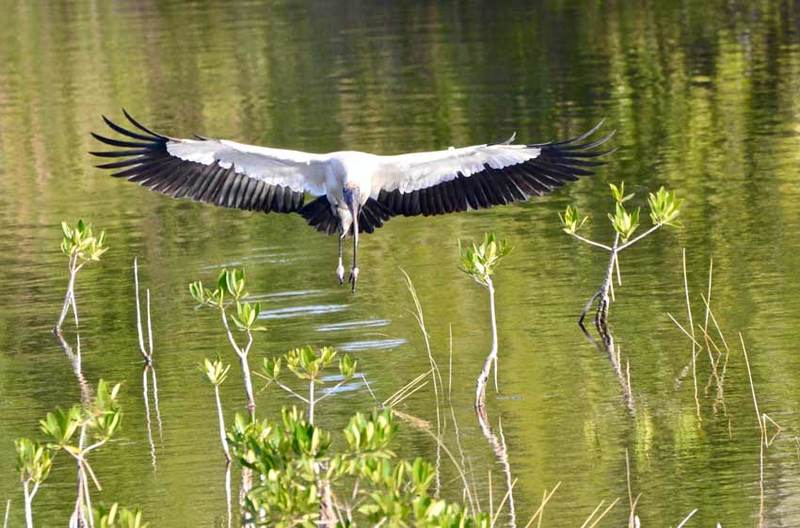 Woodstork, Everglades National Park, FL