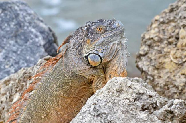 iguana key west invasive pest