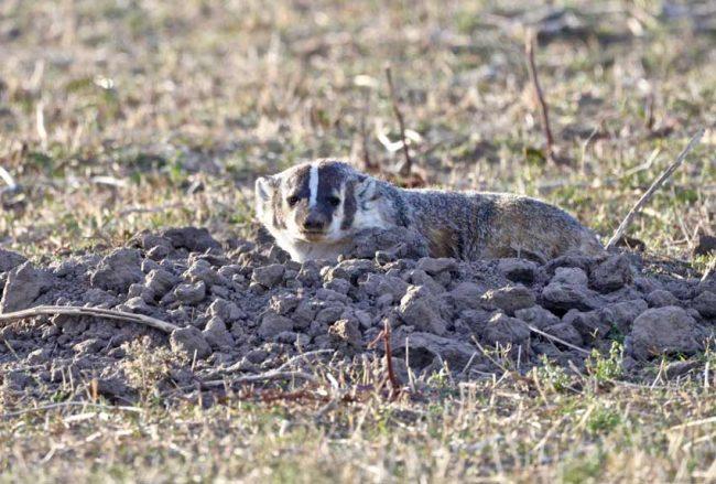 Badlands National Park Badger