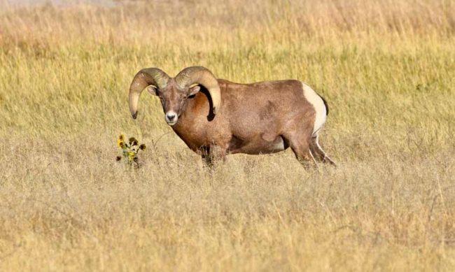 Badlands National Park Bighorn Sheep