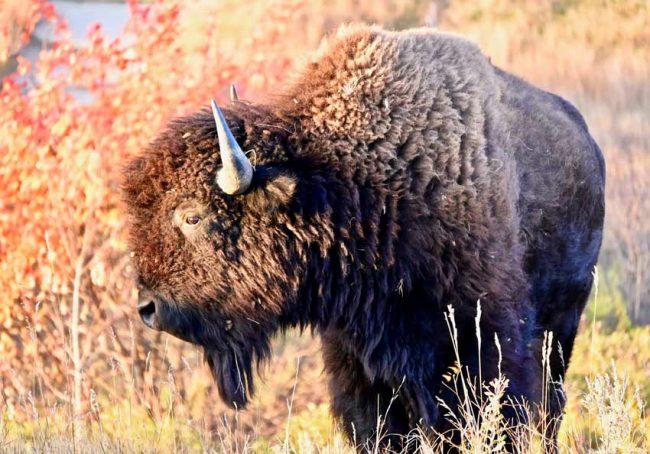 caprock coolee bison teddy roosevelt national park