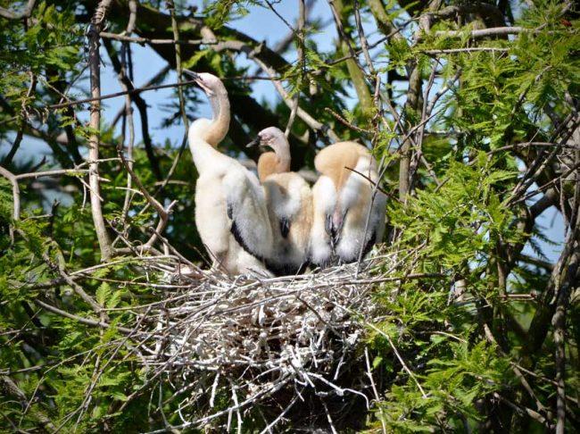 Baby birds anhinga