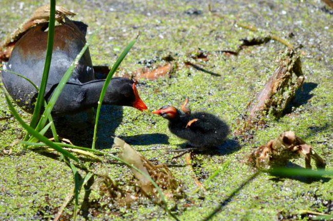 baby birds gallinule