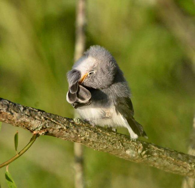 baby birds gnatcatcher