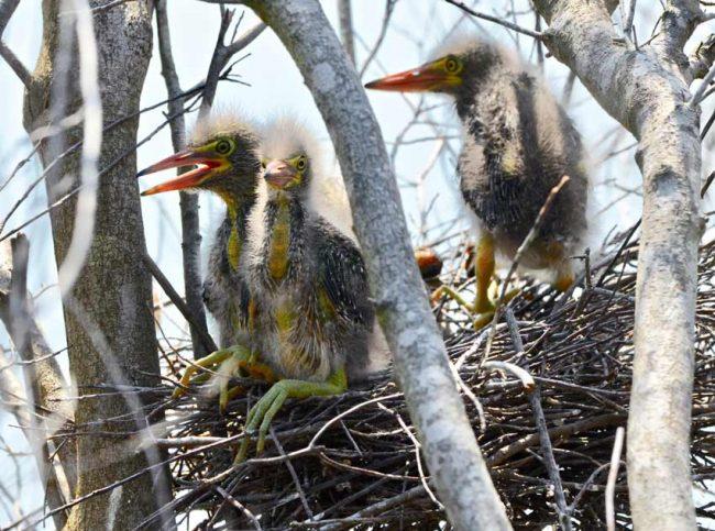 baby birds green heron