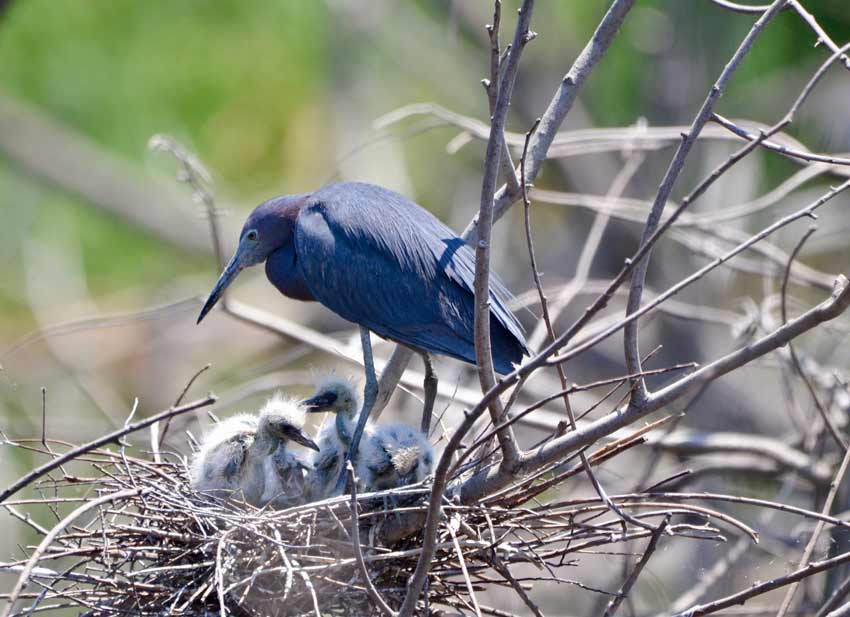 Baby birds little blue heron