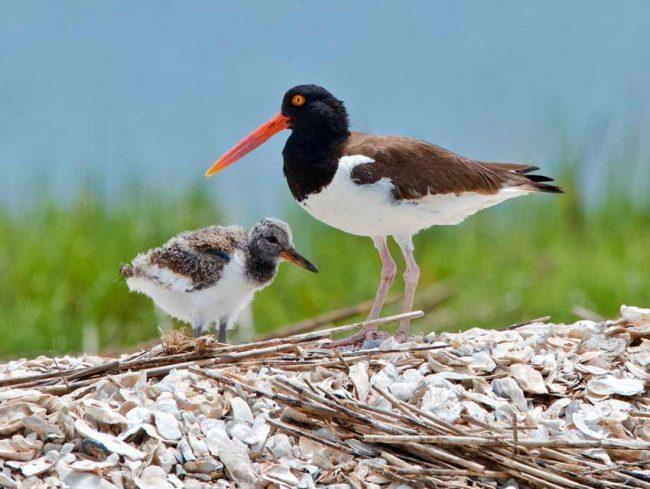baby birds oystercatcher
