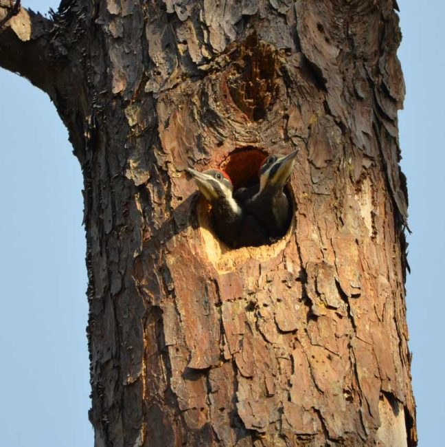 Baby birds pileated woodpecker
