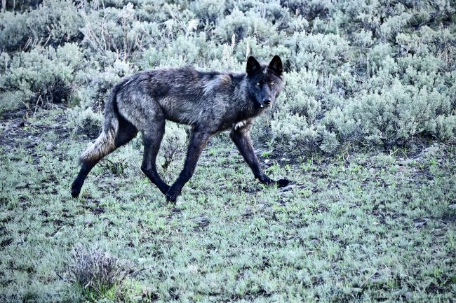 We overloaded on spring wildlife sightings, including this black Timber Wolf.