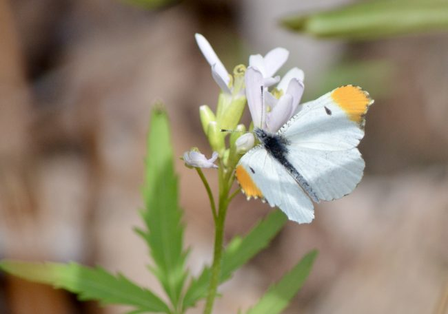 Early spring brings Falcate Orangetip butterflies to Landsford Canal State Park, SC, famous for its spring bloom of spider lilies.