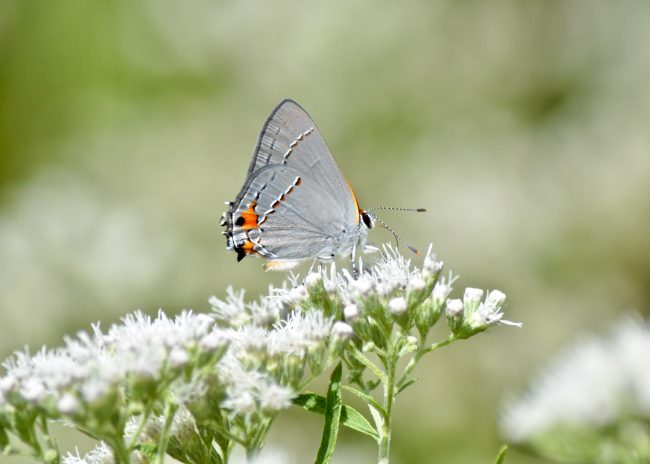 While hiking, it's easy to miss this small butterfly, the Gray Hairstreak. Up close, it's breathtaking in my opinion.