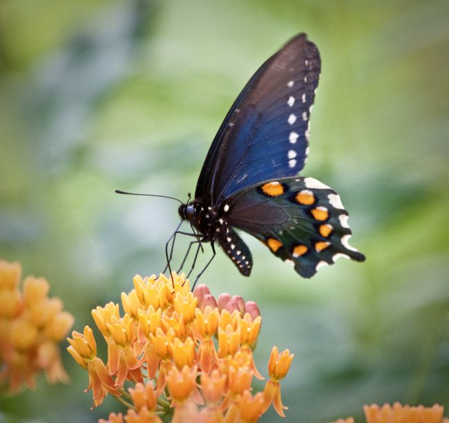 Butterflies, like this Pipevine Swallowtail along the Blue Ridge Parkway, only live for one or two weeks.
