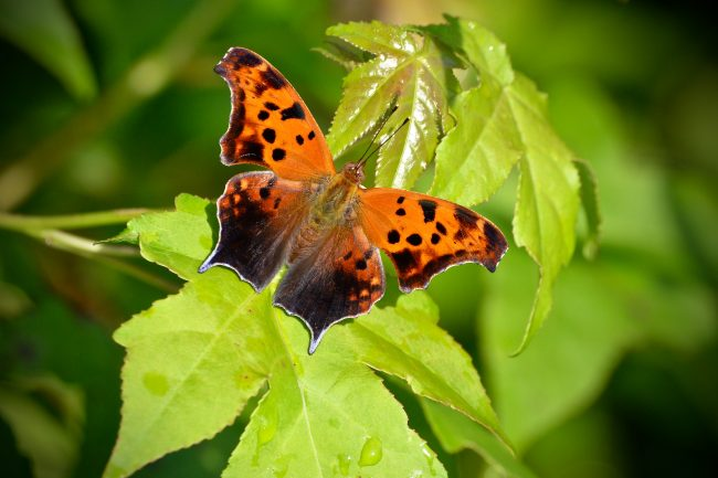 Guess where this Question Mark butterfly's tastebuds are located. On its feet.