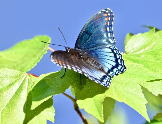 Butterflies like this Red-spotted Purple have tiny hearts in their wings.
