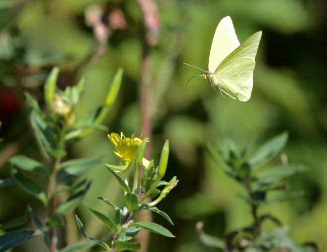 It's challenging to capture an Orange Sleepy Sulphur, or any butterfly, in flight.