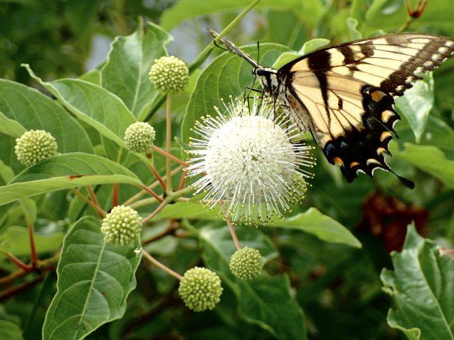 Tiger swallowtails love button bush plants.